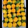 宜昌蜜桔  碰柑产地批发,鲜果供应
