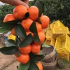 广东茂名砂糖橘皇帝柑橘子桔子果园直供砂糖桔