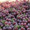 河北冷库巨峰葡萄大量上市了