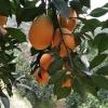 秭归鹅蛋橙长虹脐橙鲜果大量供应