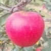 田亨嗄啦有机苹果