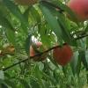 晚熟桃及晚熟黄桃
