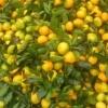 资阳蜜橘代办