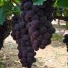 优质巨峰葡萄