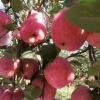 苹果之乡正宗富县水晶红富士