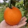 湖南石门脐橙