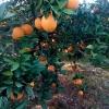道县纽荷尔脐橙